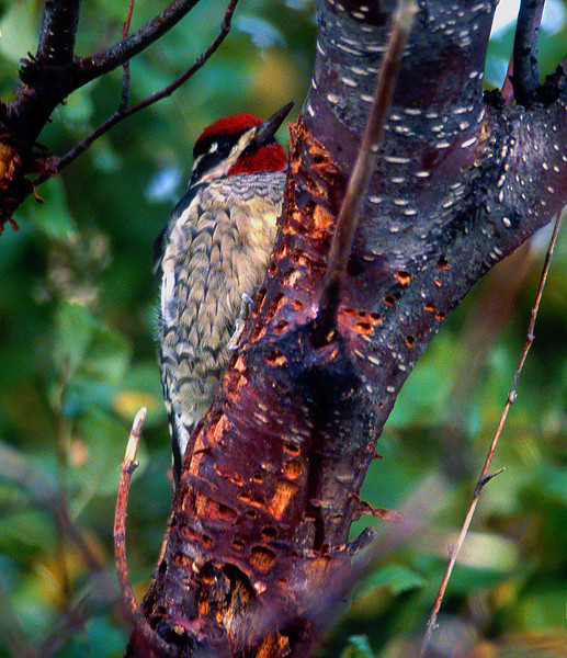 Yellow-bellied Sapsucker #002