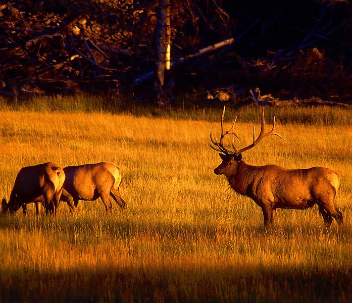 Madison Elk #030