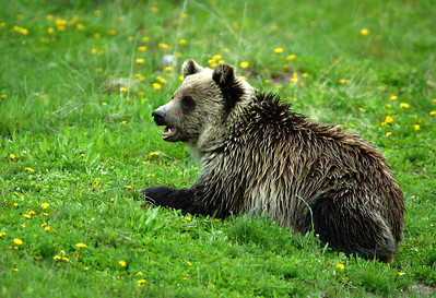 Yellowstone Grizzly Bear 022