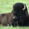 Yellowstone Bison 007