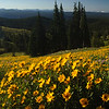 Yellowstone Wildflowers (1)