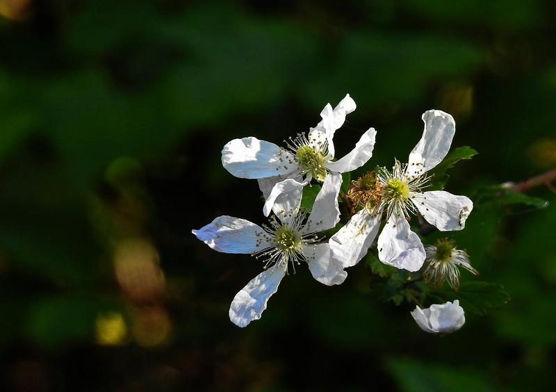 sand blackberry Rubus cuneifolius flowers 0154