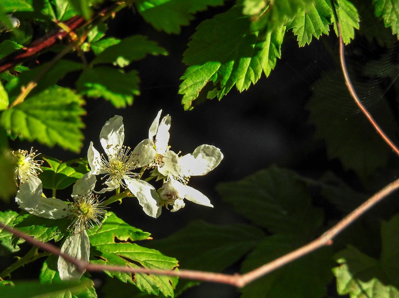 sand blackberry Rubus cuneifolius flowers 0150