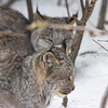 Canada Lynx in the woods of Minnesota