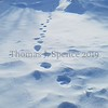 Lynx Tracks - Canada Lynx - Minnesota