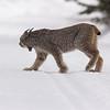 Canada Lynx - Minnesota