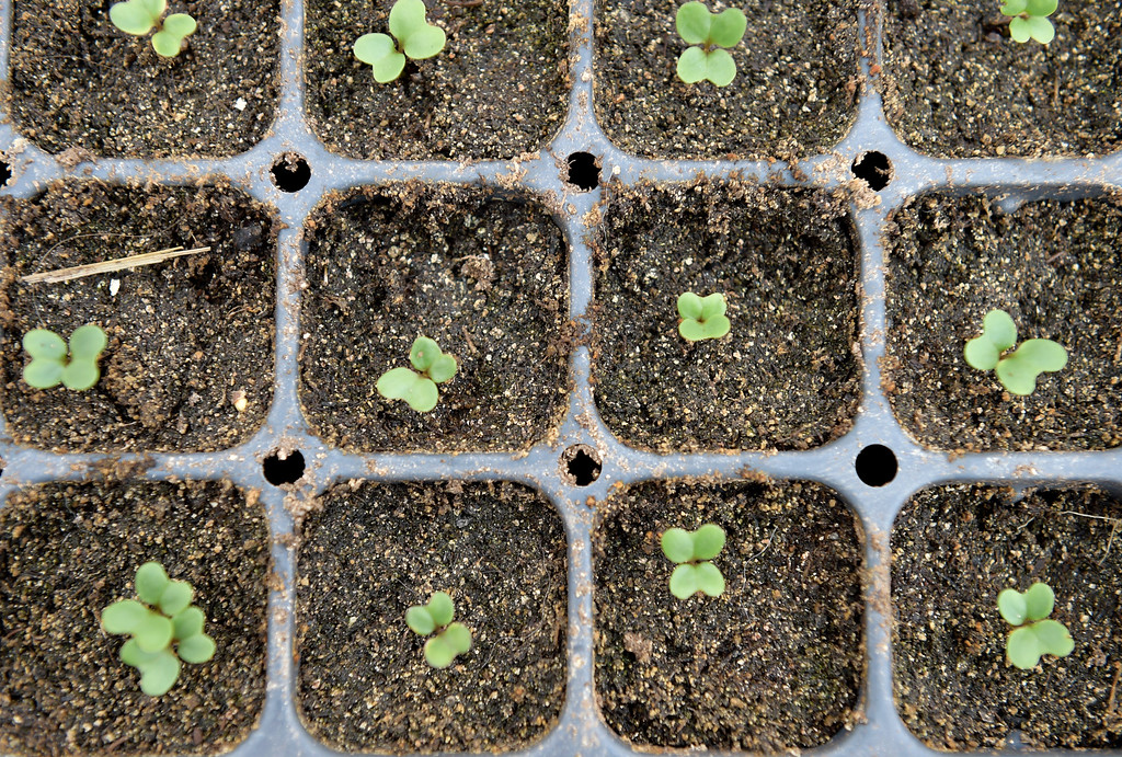 . LYONS, CO - MARCH 6: Brocoli seedlings grow in a greenhouse at the Lyons Farmette March 6, 2019. (Photo by Lewis Geyer/Staff Photographer)