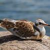 Blach-headed Gull - Hættemåge