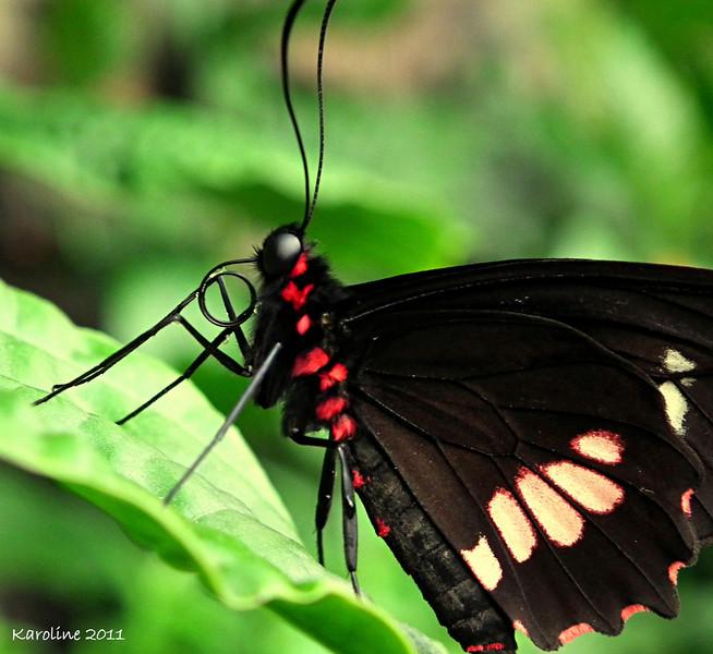 Papillons_Butterflies