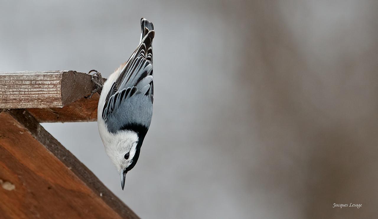 sitelle à poitrine blanche - Ile St-Bernard , le 04 janvier 2012