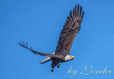 Regal Eagle 16