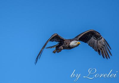 Regal Eagle 20