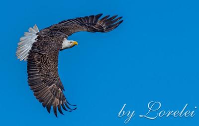 Regal Eagle 12