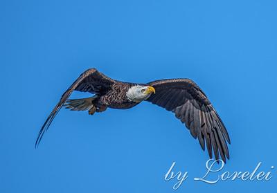 Regal Eagle 25