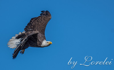 Regal Eagle 13