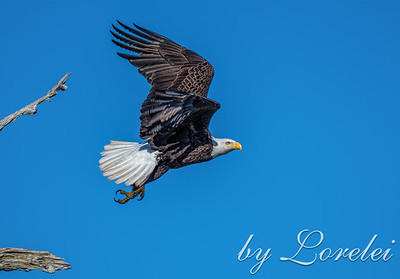 Regal Eagle 8