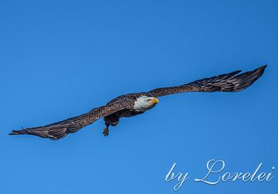 Regal Eagle 19
