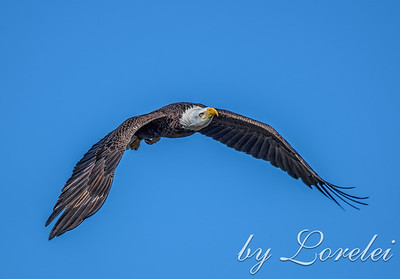 Regal Eagle 22