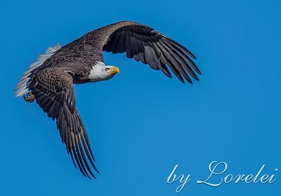 Regal Eagle 15
