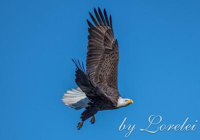 Regal Eagle 11