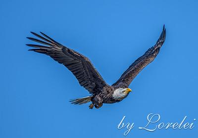 Regal Eagle 23