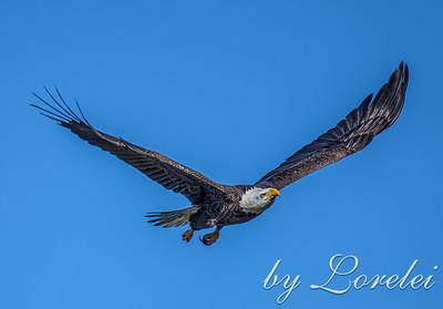 Regal Eagle 21
