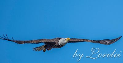 Regal Eagle 24