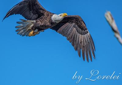 Regal Eagle 30