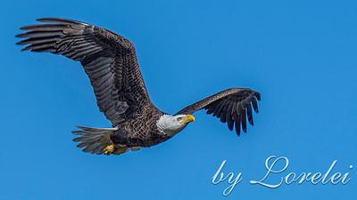 Regal Eagle 28