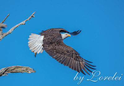 Regal Eagle 7