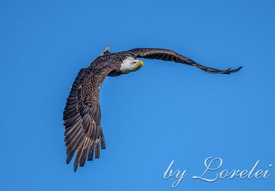Regal Eagle 17