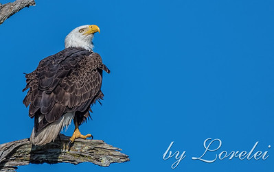 Regal Eagle 1