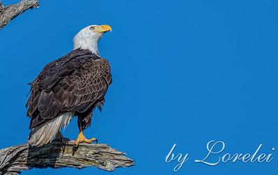 Regal Eagle 2