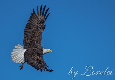 Regal Eagle 9