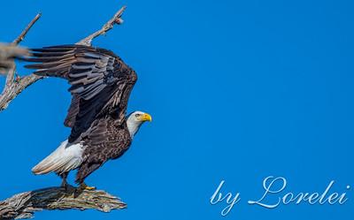 Regal Eagle 5