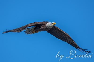 Regal Eagle 27