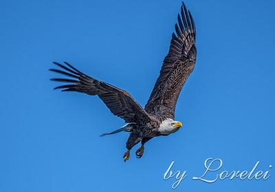 Regal Eagle 18