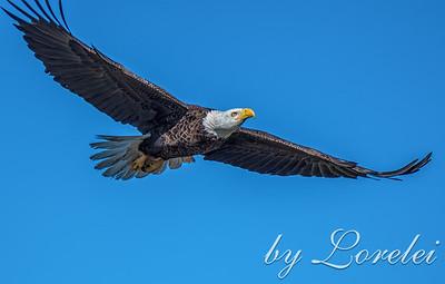 Regal Eagle 29