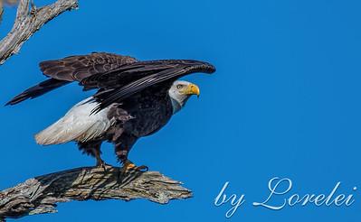 Regal Eagle 4