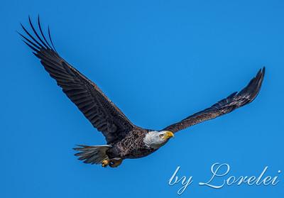 Regal Eagle 26