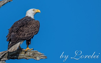 Regal Eagle 3