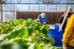 M21063- Greenhouse, Lettuce Harvesting-6875