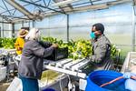 M21063- Greenhouse, Lettuce Harvesting-6843