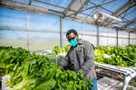 M21063- Greenhouse, Lettuce Harvesting-6937