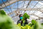 M21063- Greenhouse, Lettuce Harvesting-6956