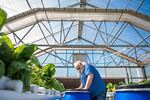 M21063- Greenhouse, Lettuce Harvesting-6889