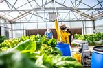 M21063- Greenhouse, Lettuce Harvesting-6868