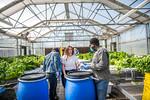M21063- Greenhouse, Lettuce Harvesting-6866
