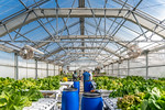 M21063- Greenhouse, Lettuce Harvesting-6908