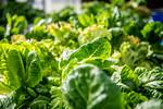 M21063- Greenhouse, Lettuce Harvesting-6879